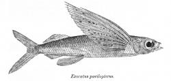 'Fliegender Fisch' (Exacatus) Cypselurus poecilopterus, Bild: Wikimedia - gemeinfrei